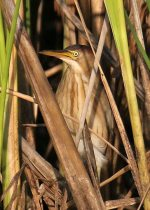 Least Bittern. 24 July 2019, Upper Canada Migratory Bird Sanctuary,Ingleside, United counties of Stormont, Dundas and Glengarry.