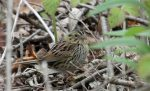 Henslow's Sparrow. 1 May 2017, Point Pelee, Essex Co.