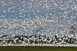 Snow Goose. 26 October 2016, Casselman, United Counties of Prescott and Russell.