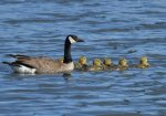 adult with goslings.