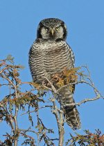 Northern Hawk Owl. 5 February 2020, Ottawa.