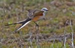 Scissor-tailed Flycatcher. 2 May 2020, West Elgin, Elgin Co.