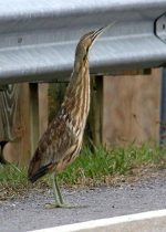 American Bittern. 24 April 2017, South Lancaster, Township of South Glengarry, United Counties of Stormont, Dundas and Glengarry.
