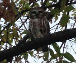 Northern Saw-whet Owl. 18 October 2017, Ottawa.