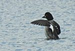 Barrow's Goldeneye. 1 April 2017, Tommy Thompson Park, Toronto.