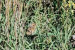 Nelson's Sparrow. 24 September 2016, Amherst Island, Loyalist Township, Lennox and Addington Co.