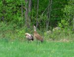 Sandhill Crane. 31 May 2020, South Algonquin Township, Nipissing District.