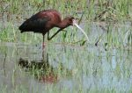 White-faced Ibis. 3 May 2017, City of Kawartha Lakes.