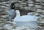Snow Goose. 7 January 2017, Desjardins Canal, Dundas, City of Hamilton.