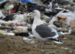 Slaty-backed Gull. 12 December 2018, Mohawk Street Landfill, Brantford, Brant Co.