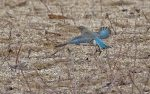Mountain Bluebird. 23 November 2017, Snyder's Flats CA. Waterloo, Regional Municipality of Waterloo.