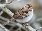 Chipping Sparrow. 8 February 2019, Monarch Landing, Port Burwell, Municipality of Bayham, Elgin Co.