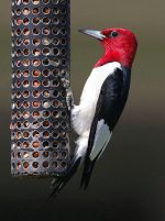 Red-headed Woodpecker. 25 May 2020, Presqu'ile Provincial Park, Northumberland Co.