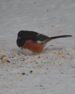 Eastern Towhee. 19 January 2019, Wardsville, Middlesex Co.