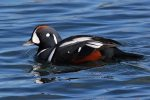 Harlequin Duck. 9 January 2017, Etobicoke, Toronto.