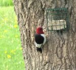 Red-headed Woodpecker. 9 May 2017, Markham, Regional Municipality of York.