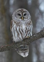 Barred Owl. 23 February 2017, Cornwall, United Counties of Stormont, Dundas and Glengarry.