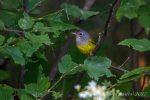 Mourning Warbler. 7 August 2017, Dowling, Regional Municipality of Sudbury.