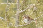 Fox Sparrow. 19 February 2019, Bannerstone Conservation Lands, Morpeth, Municipality of Chatham-Kent.