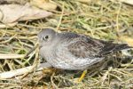 Purple Sandpiper. 9 March 2020, South Beach, Rondeau Provincial Park, Municipality of Chatham-Kent.