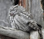 Eastern Screech-Owl. 2 May 2020, Ottawa.
