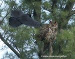 harassing a Great Horned Owl.