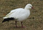 Ross's Goose. 28 January 2018, Spencer Smith Park, Burlington, Halton Region.
