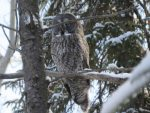 Great Gray Owl. 11 February 2017, South Porcupine, Cochrane District.