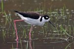 Black-necked Stilt. 1 May 2017, Tilbury Sewage Lagoons, Tilbury, Essex Co.