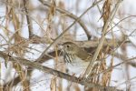 Hermit Thrush. 18 December 2016, Rondeau Provincial Park, Municipality of Chatham-Kent.