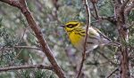 Townsend's Warbler. 11 November 2017, Rondeau Provincial Park, Municipality of Chatham-Kent.