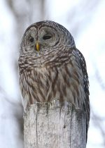 Barred Owl. 2 January 2019, Williamsburg, United Counties of Stormont, Dundas and Glengarry.