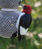 Red-headed Woodpecker. 21 May 2020, Middlesex Co.,.
