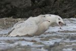 Glaucous Gull. 20 December 2018, Cornwall, United Counties of Stormont, Dundas and Glengarry.