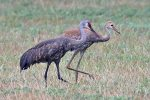 Sandhill Crane. 12 July 2019, South Lancaster, United Counties of Stormont, Dundas and Gengarry.