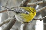 Pine Warbler. 5 January 2017, Dufferin Islands, Niagara Falls, Region of Niagara.