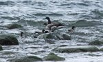 Brant. 14 October 2016, Thickson's Point, Whitby, Durham Region.