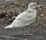 Glaucous Gull. 14 November 2017, Forty MIle Creek, Grimsby, Region of Niagara.