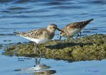 juvenile, with Least Sandpiper.