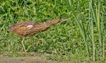 American Bittern. 1 September 2016, West Perth Wetlands, Mitchell, Perth Co.