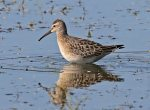 Stilt Sandpiper. 30 August 2018, Ingleside, United counties of Stormont, Dundas and Glengarry.