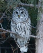 Barred Owl. 13 January 2019, Lynde Shores CA., Whitby, Durham Region.