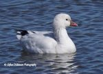 Ross's Goose. 17 March 2018, Eden, Municipality of Bayham, Elgin Co.