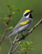Golden-winged Warbler. 26 May 2020, Murphy's Point Provincial Park, Rideau Lakes, Perth, Lanark Co.