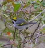 Golden-winged Warbler. 18 May 2020, Scarborough, Toronto.