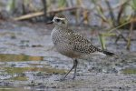 American Golden-Plover. 7 October 2020, Farran Park, Ingleside, United counties of Stormont, Dundas and Glengarry.