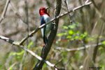 Red-headed Woodpecker. 21 May 2020, Rondeau Provincial Park, Municipality of Chatham-Kent.