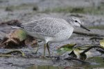Red Knot. 2 October 2020, Farran Park, Ingleside, United counties of Stormont, Dundas and Glengarry.
