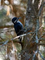Black-backed Woodpecker. 12 October 2017, Bat Lake Trail, Algonquin Provincial Park.