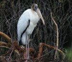 Wood Stork. 12 August 2017, Point Pelee National Park, West Beach.